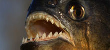 breeding-piranhas.asp